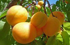 Спасаем абрикосы от болезней